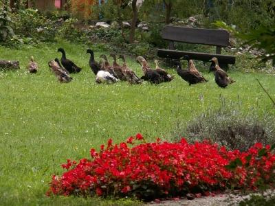 Enten in Garten
